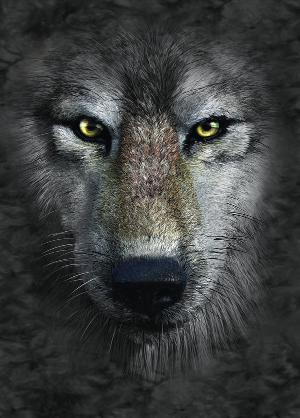 Grey Wolf By The Mountain